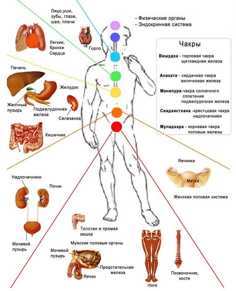 Строение человека, эндокринная система, физические органы, связь с органами